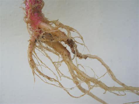 Batu Akar Ginseng by Otaku Resources Penyakit Karang Batu