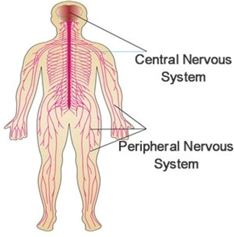 diagram of central and peripheral nervous system 10 facts about central nervous system fact file