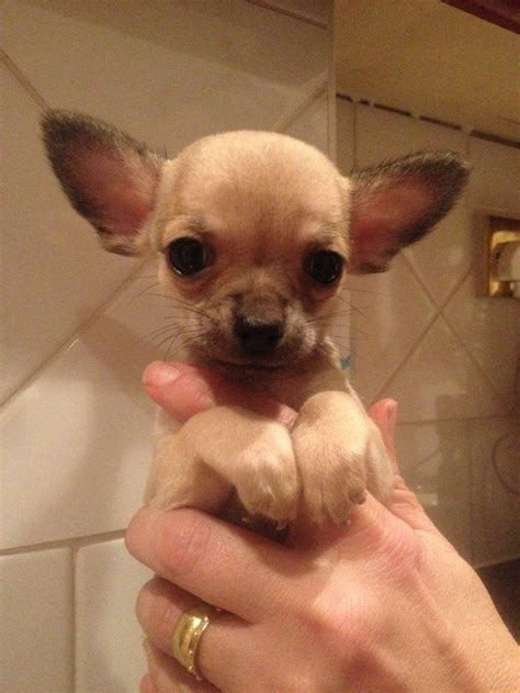 blue teacup chihuahua puppies for sale teacup chihuahua s for sale blue fawn bedford bedfordshire pets4homes