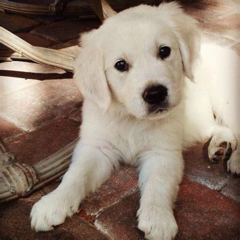 golden retriever types of dogs 242 best golden retrievers images on