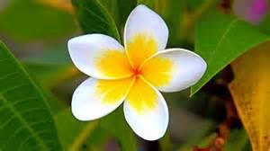 Gardening Indoors - how do you care for a frangipani flower reference com