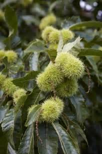gardening 101 sweet chestnut tree gardenista