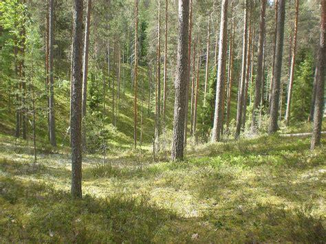 Jobb Finlandia D Grey file forest at leivonm 228 ki np jpg wikimedia commons