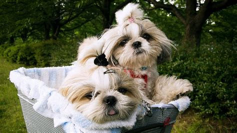 caring for shih tzu 5 tips on caring for senior shihtzu shih tzu daily