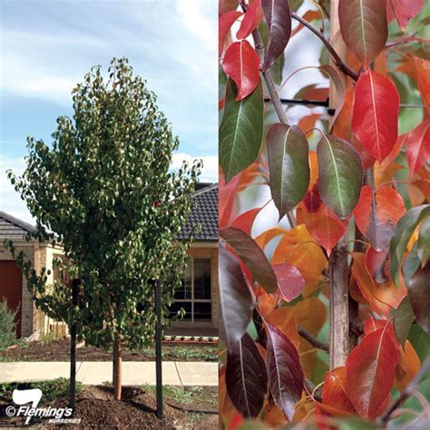 Ornamental Pear   Edgewood?   Perth, WA   Online Garden Centre