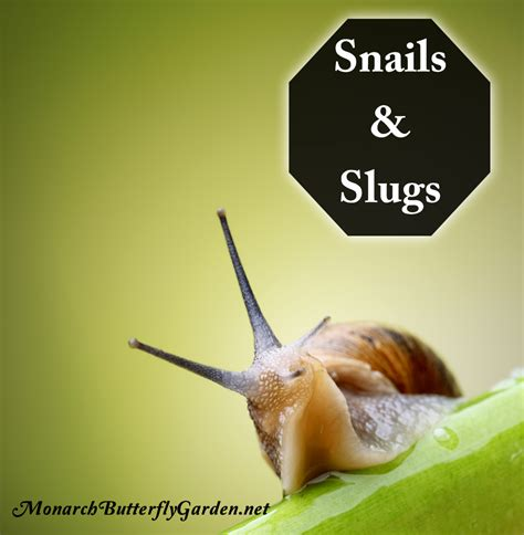 how to find a snail in your backyard where can you find snails in your backyard 28 images