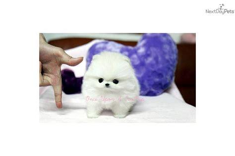 teacup pomeranian for sale in sacramento pomeranian puppy for sale near sacramento california 3608dd44 a311