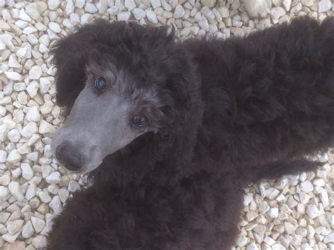 silver poodle puppy pin silver standard poodle puppies on