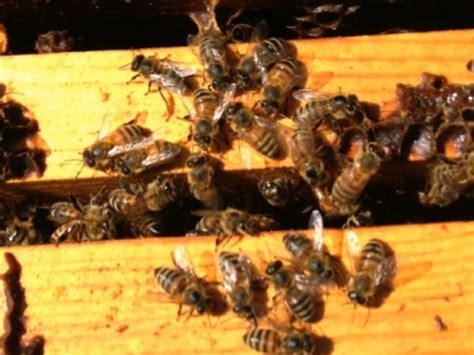 ctm bee honeycomb deepening honey bee crisis creates worry food supply
