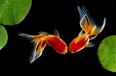 goldfish hd wallpaper pin gold fish wallpaper animals coral nemo sea full hd