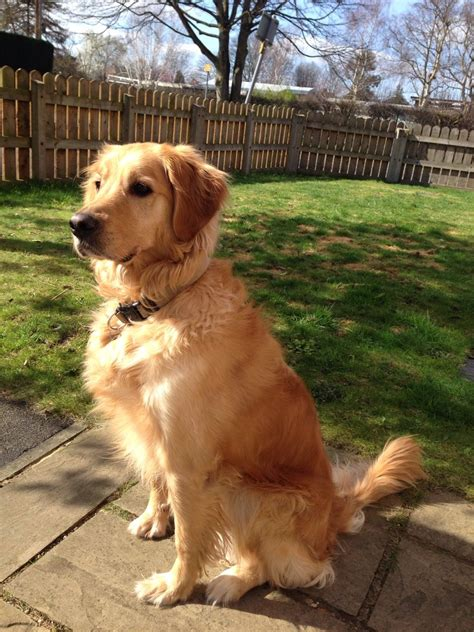 1 year golden retriever 4 year golden retriever sale greater manchester pets4homes