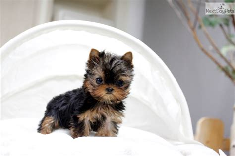 korean yorkies for sale terrier yorkie puppy for sale near seoul korea 6cb4c715 bad1
