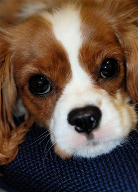 spaniel breeds list of spaniel breeds pets