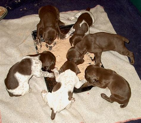 puppy gruel shomberg gsp news
