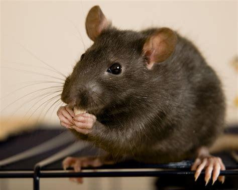 imagenes de ratas halloween rat wallpapers hd download