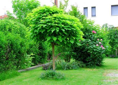 piccoli alberi da giardino catalpa bungei alberi latifolie catalpa bungei