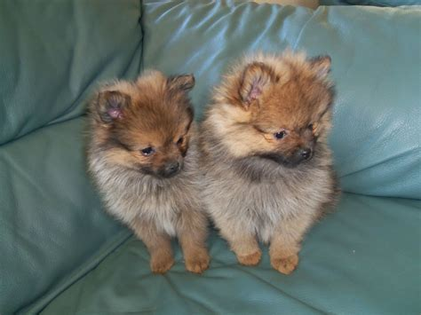 purebred pomeranians pomeranian bred pups market harborough leicestershire pets4homes