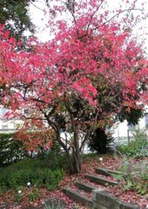 japanischer garten volle sonne feuerahorn acer ginnala feuer ahornbaum vertr 228 gt
