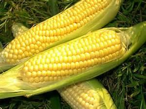 how to grow sweet corn the garden of eaden