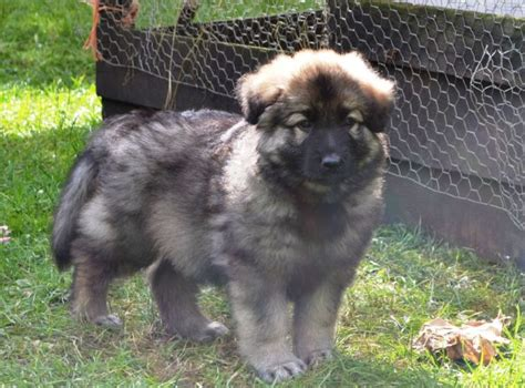 blue german shepherd puppies blue german shepherd puppy images