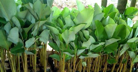 pohon pisang kalatea pohon kalatea  taman tropis