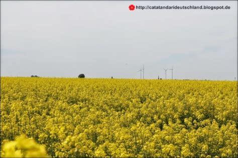 Minyak Canola catatan dari deutschland bunga kuning yang jadi minyak