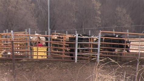 Waupaca County Court Records Waupaca County Accused Of Illegally Selling Cows