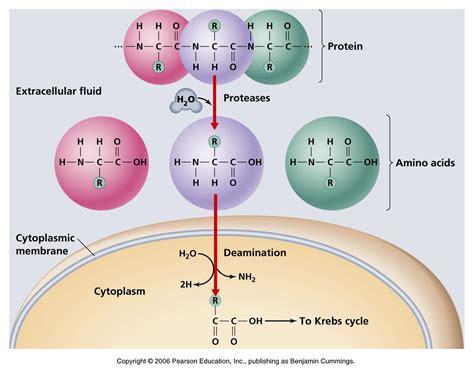 protein catabolism protein catabolism