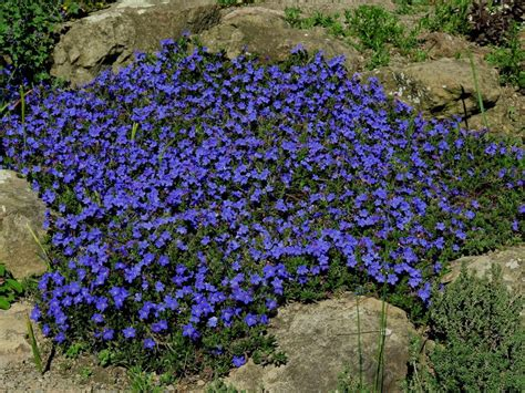 Photo of the entire plant of Lithodora (Glandora prostrata