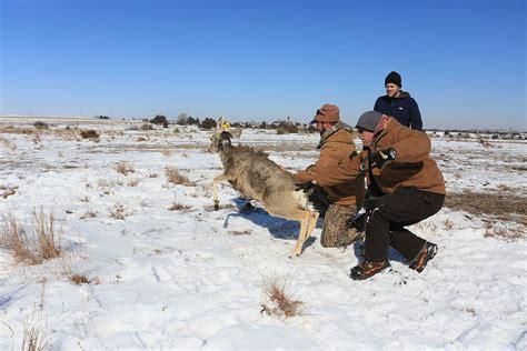 mule deer  southwest nebraska receive monitoring devices