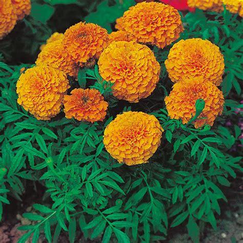 Pupuk Untuk Bunga Marigold marigold sunspot orange tamanbenih