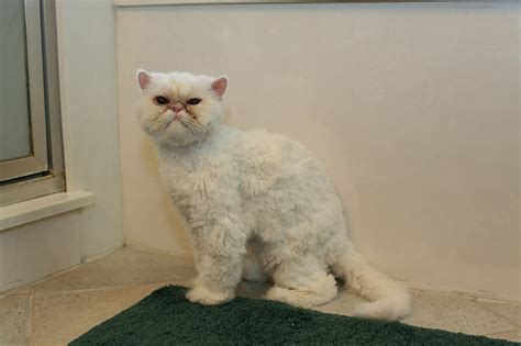 before and after cat haircuts cat a haircut 7 cool persian cat haircuts biological