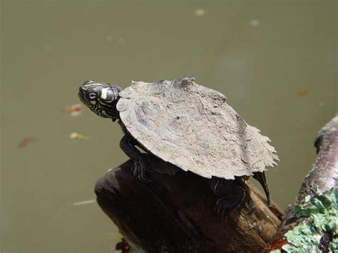 missouri map turtle ouachita map turtle mdc discover nature