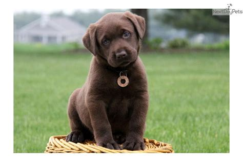 lab puppies for sale ohio chocolate lab puppies for adoption in ohio breeds picture