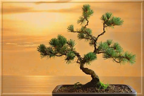www bonsai haus de m 228 dchenkiefer foto bild natur bonsai b 228 ume bilder