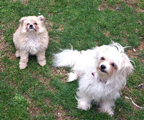 pomeranian x maltese puppies sold beautiful maltese x pomeranian puppy carterton oxfordshire pets4homes