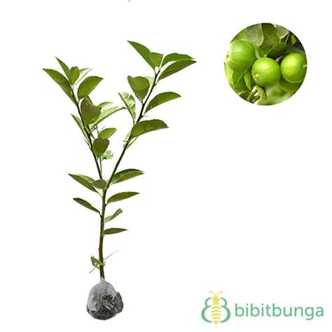 tanaman jeruk nipis