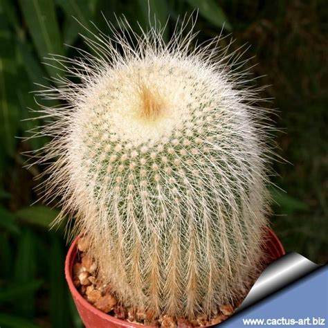 notocactus leninghausii albispinus cactus plants