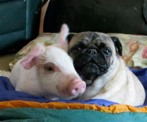 pig and pug a pig and a pug pigs pugs