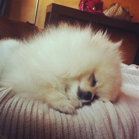 pomeranian puppies for sale in miami the 25 best pomeranian puppies for sale ideas on pomeranian for sale