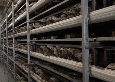gabbie per allevamento quaglie quaglie ciwf italia