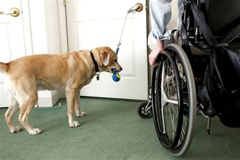 of service dogs how service dogs provide support wellness us news
