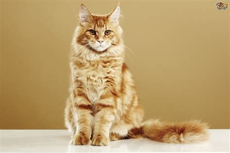Some frequently asked questions about the Maine Coon cat