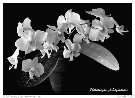 black and white orchid wallpaper orchid wallpaper black and white www pixshark com