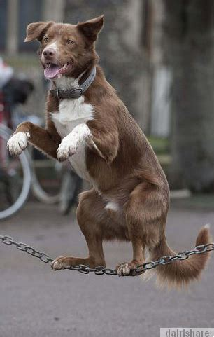 Tali Untuk Peliharaan Anjing Tali Anjing percayakah anda anjing ini mu bediri 2 kaki di atas tali dairishare