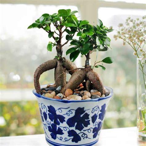 indoor plants singapore singapore bonsai indoor plants potted plant