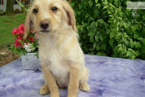 beagle poodle mix puppies for sale mixed other puppy for sale near lancaster pennsylvania e2de1483 01a1