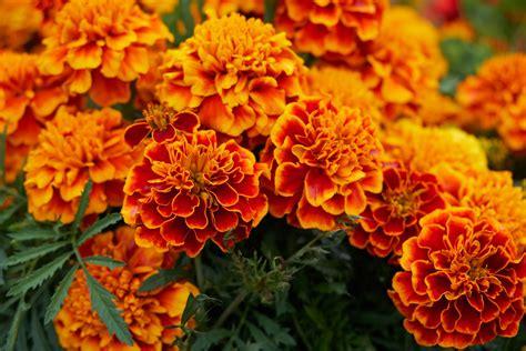 new year marigold flower october birth flower the farmer s almanac
