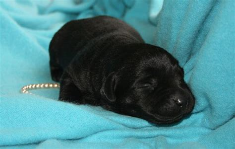 newborn puppy constantly how to a black lab puppy to stop barking pets