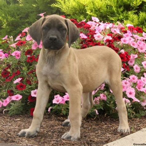 mastiff puppies for sale in pa mastiff mix puppies for sale greenfield puppies